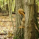 Fox Squirrel by Joe Henz