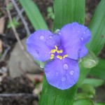 Wild Iris Along the AT Virginia 2008 by Dave Haggist