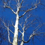 Winter Sycamore by Joe Henz