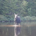 Moose Maine 2008 by Dave Haggist